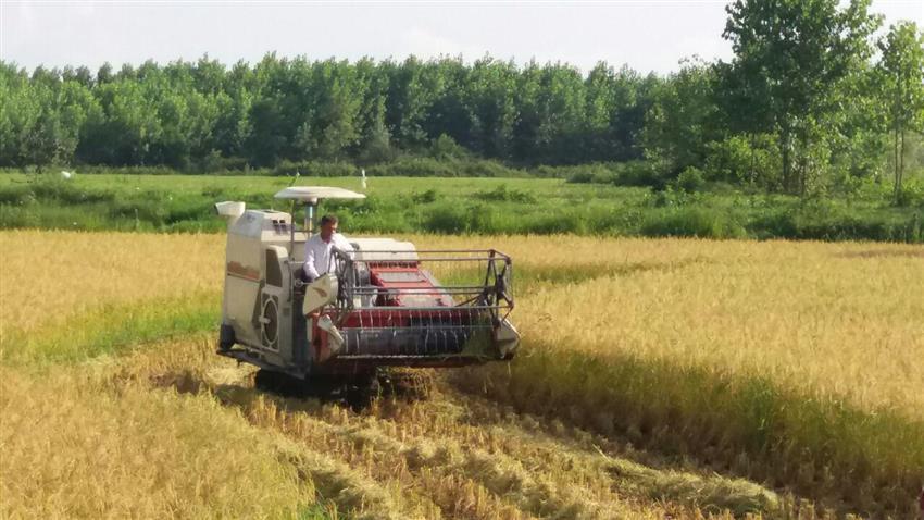 برداشت ماشینی برنج در شالیزارهای گیلان
