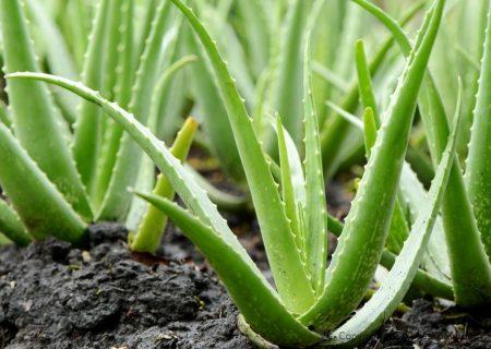 تولید بیش از ۷۷۰ تن گیاه آلوئه ورا در گیلان