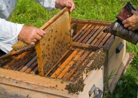 افزایش تولید عسل در لاهیجان