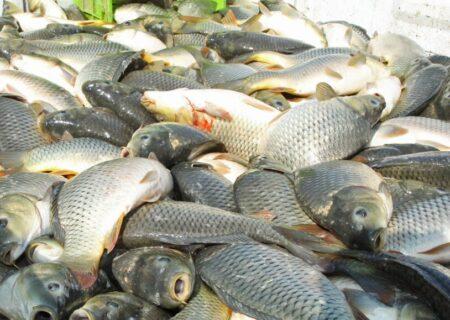تولید ۴۵ هزار تن ماهی گرمابی در گیلان