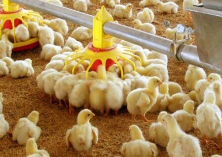 افزایش ۷ درصدی تولید مرغ در گیلان