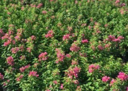 پرداخت تسهیلات به تولید کنندگان گیاهان دارویی