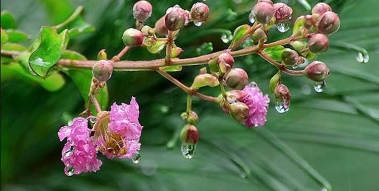 شکوفههای بهاری همچنان خیس از باران بهاری