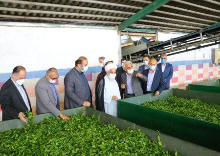 آمادگی کارخانجات چایسازی برای خرید برگ سبز چای