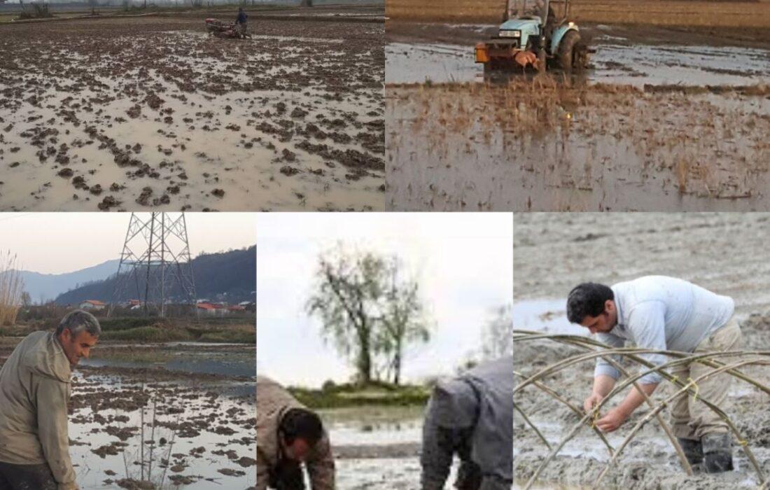 توصیه های مدیر زراعت سازمان جهاد کشاورزی گیلان برای شروع فصل کشت و کار برنج در سال جدید