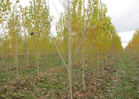 اجرای طرح زراعت چوب در بیش از ۲ هزار هکتار