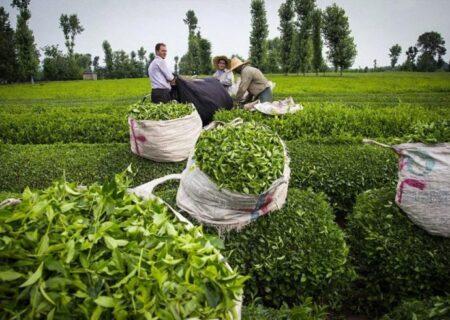 خرید بیش از ۲۳ هزار تن برگ زمردین چای