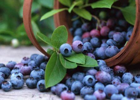 به بار نشستن میوه بلوبری در باغ الگویی گیلان