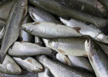 تولید بیش از ۳ هزار تن ماهی سردآبی در گیلان