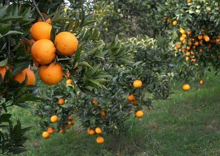 آغاز برداشت نارنج در املش